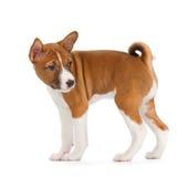 Basenji puppy Royalty Free Stock Photography