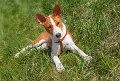 Basenji puppy laying in the grass Stock Photos