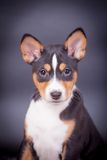 Basenji puppy on the lilac background Royalty Free Stock Images