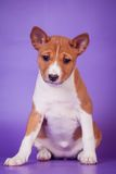 Basenji puppy on the lilac background Royalty Free Stock Photo