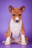 Basenji puppy on the lilac background Stock Photo