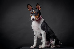 Basenji puppy, 3 month on a black background Stock Photo