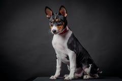 Basenji puppy, 3 month on a black background Stock Photo