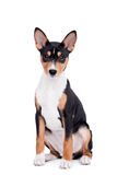 Basenji puppy, 3 month, isolated on the white Stock Photo