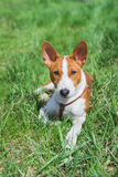 Basenji puppy (5.5 month old) having rest Royalty Free Stock Photo