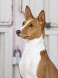 Basenji puppy portrait. Stock Photography