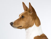Basenji puppy portrait. Stock Photos