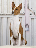Basenji puppy portrait. Royalty Free Stock Photo