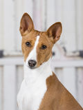 Basenji puppy portrait. Royalty Free Stock Photos