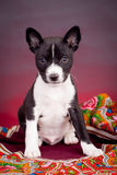 Basenji puppy on a red background Royalty Free Stock Image