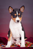 Basenji puppy on a red background Royalty Free Stock Photos