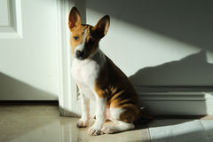 Basenji puppy. Sitting indoors with light casted on it Stock Image