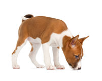 Basenji puppy sniffing Stock Photos