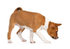 Basenji puppy sniffing Royalty Free Stock Images