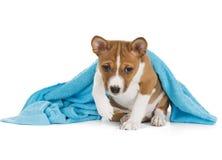 Basenji puppy Royalty Free Stock Image