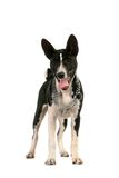 Basenji puppy on white Stock Images