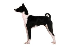 Basenji puppy on white. Basenji puppy, 4 months, on the white background Stock Photography