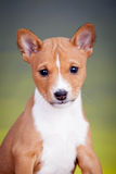 Basenji puppy on a yellow background Royalty Free Stock Photos
