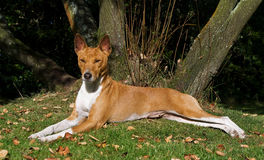 Basenji reclining Royalty Free Stock Photography