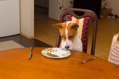 Basenji is regretting for tasty beefsteak stolen from master`s plate Stock Photography