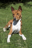 Basenji Relaxed Royalty Free Stock Images