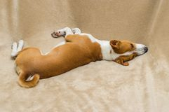 Basenji resting in its favorite place. Cute basenji resting in its favorite place on a soft bedspread stock images