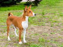 Basenji right side. Stock Image
