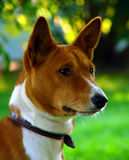Basenji`s interest. Young basenji looking with interest Stock Image