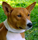 Basenji`s perplexity Royalty Free Stock Photos