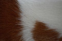 Basenji`s wool. Wool of red-and-white basenji dog Stock Photos