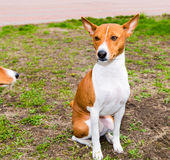 Basenji seats. Royalty Free Stock Image