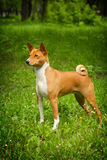 Basenji is in the show position Stock Photos