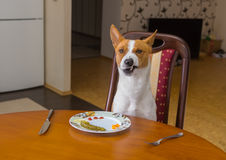 Basenji shows grimace of dissatisfaction sitting at the dinner table Royalty Free Stock Photos