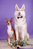 Basenji with siberian husky Royalty Free Stock Photo