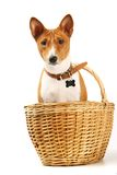 Basenji sits in the basket on white Stock Image