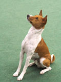 Basenji sitting Royalty Free Stock Photo