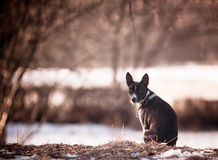 Basenji Stock Photography