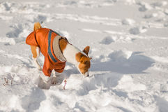 Basenji sniffing around in unknown snow Stock Photography