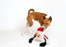 Basenji with toy in mouth Stock Images