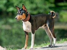 Basenji tricolore Photographie stock