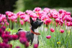 Basenji in tulips Royalty Free Stock Images