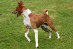 Basenji turning Stock Photos