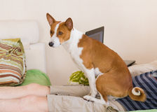 Basenji using his master body as a pillow Stock Photography