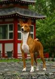 Basenji vicino a Japans hous immagini stock libere da diritti