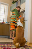 Basenji is waiting till servant cook his lunch Royalty Free Stock Photo