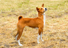 Basenji waits. Basenji is on the grass in the park Stock Photography