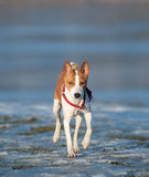 Basenji walking Stock Photos