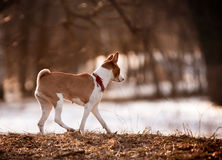 Basenji walks Stock Photo