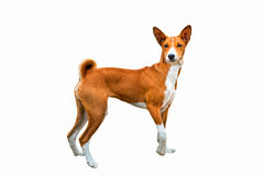 Basenji on white. Royalty Free Stock Photos