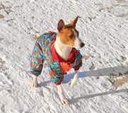 Basenji in winter suit Stock Photos